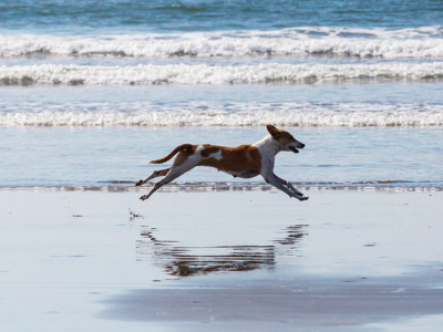 Dog Running On The Beach, Credit: Stock Photography