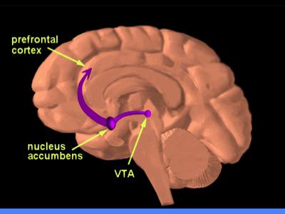Brain Diagram, Credit: NIDA