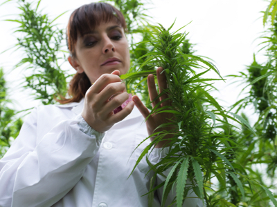 Scientist Evaluating Hemp Plant, Credit: Stock Photography